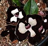 "Panda Face Ling Ling Ginger - Asarum splendens - Wildflower - 4"" Pot"