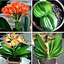 10 piece/pack clivia seeds plants bonsai flower seed