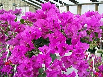 Amazon Royal Purple Bougainvillea Plant Indoorsout Or Bonsai