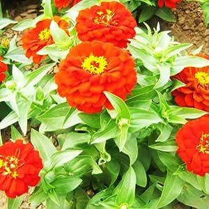 200 ZINNIA ~ Whirligig ~ CARROUSEL FLOWER SEEDS~easy to grow