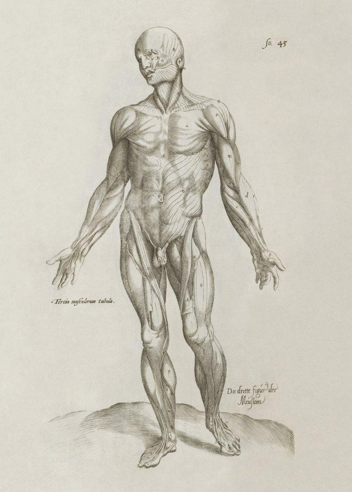 Vintage Anatomy De Humani Corporis Fabrica Libri Septem Plate 10 By
