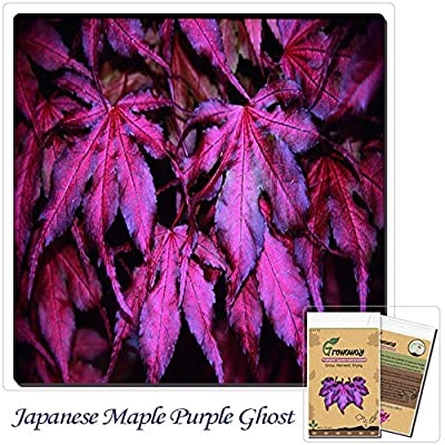 "Mayan Seeds LLC Tree seeds 20pcs ""Purple Ghost"" Japanese Maple Seed Novelty bonsai! Home gardening DIY!"