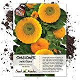 Package of 100 Seeds, Dwarf Teddy Sunflower (Helianthus annuus) Non-GMO Seeds by Seed Needs