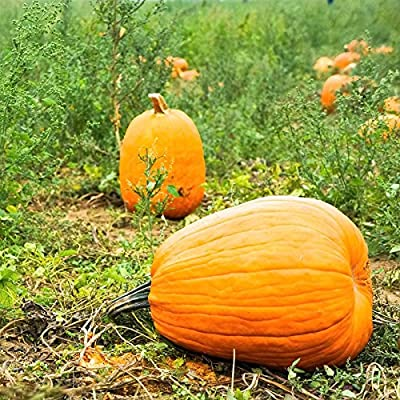 Pumpkin Garden Seeds - Jack O'Lantern Variety - Non-GMO, Heirloom Pumpkins - Orange - Vegetable Gardening Seeds