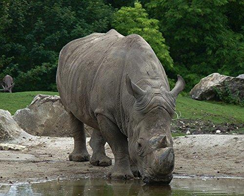 Africa Rhinoceros Horn - LAMINATED POSTER Defenses Rhinoceros Horns Africa Wild Animal Poster