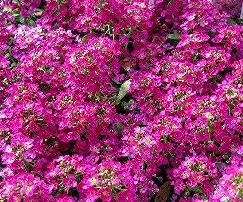 deep Rose Sweet Alyssum red Pink lobularia Basket Fragrant Butterflies 200 Seeds ()