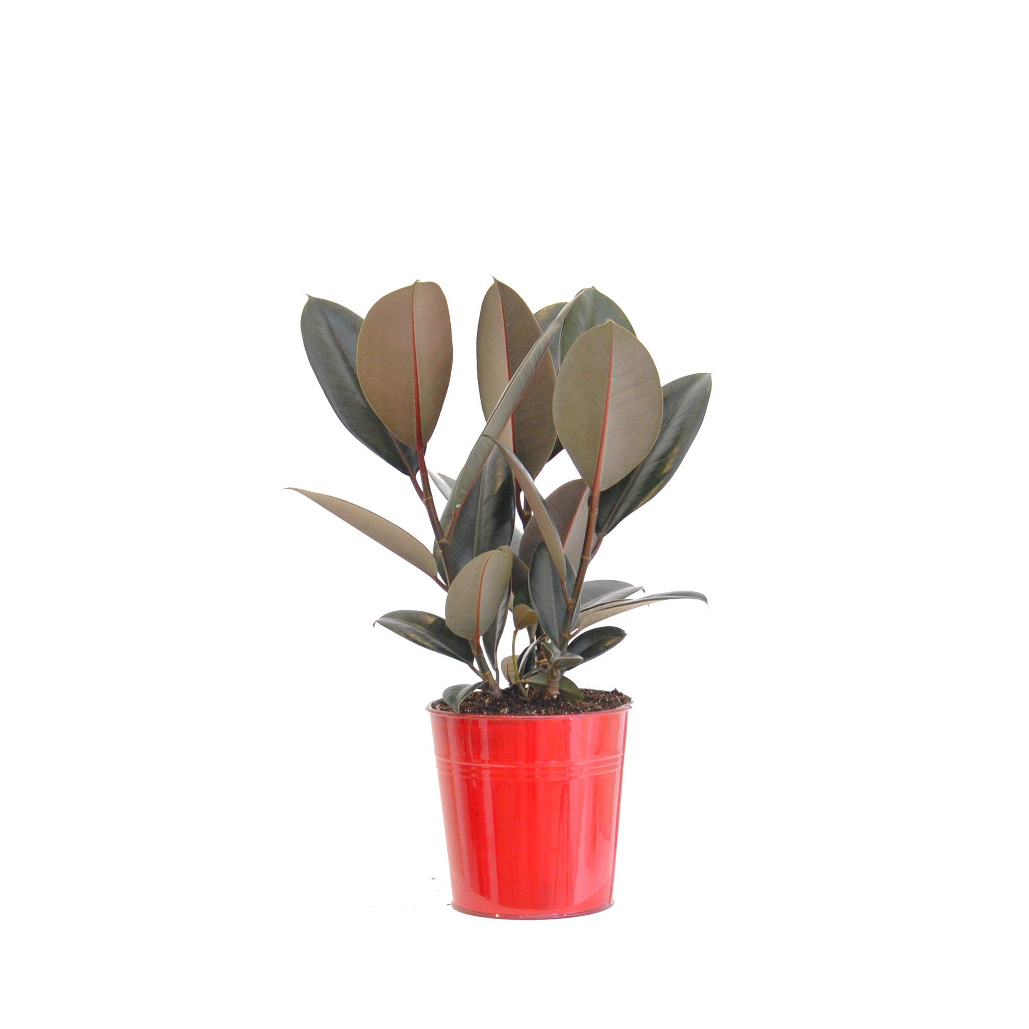 United Nursery Ficus Elastica Burgandy Live Rubber Plant Indoor Houseplant in 6 inch Red Tin Pot 16-19 Inches