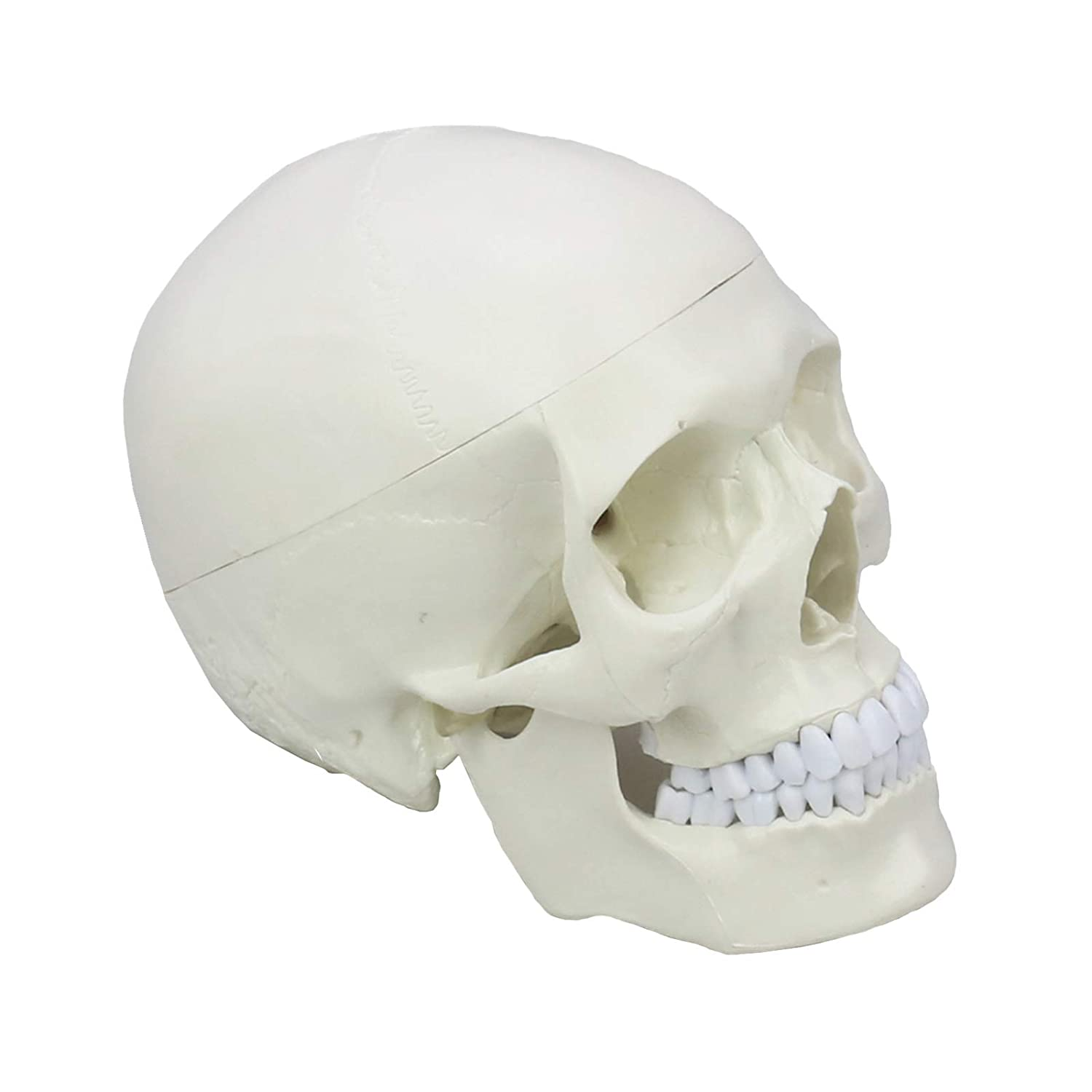 Medical Anatomical Human Skull Model,Medical Quality, Life Size,3 Part,Removable Skull Cap,Shows Most Major Foramen, Fossa, and Canals,Includes Full Set of Teeth Pomcat