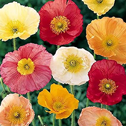 Amazon iceland poppy seeds mixed colors packet white iceland poppy seeds mixed colors packet whiteorangeyellow flowers mightylinksfo