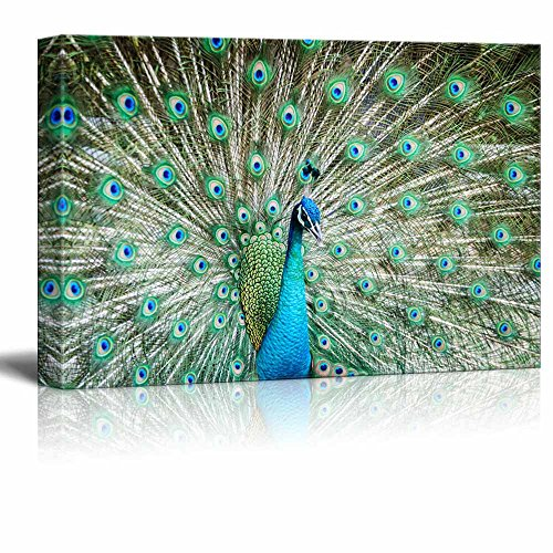 rt - Peacock Showing Its Beautiful Feathers/Spreading Its Tail | Modern Wall Decor/ Home Decoration Stretched Gallery Canvas Wrap Giclee Print & Ready to Hang - 32