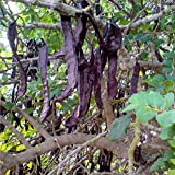 Carob Tree Seeds (Ceratonia Siliqua) 10+ Rare Medical Tree Seeds in FROZEN SEED CAPSULES for The Gardener & Rare Seeds Collector - Plant Seeds Now or Save Seeds for Years