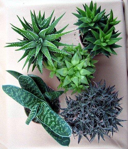 Haworthia Collection 5 Plants Easy To Grow Hard To Kill
