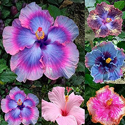 Amazoncom 100 Pcs Real Giant Hibiscus Flower Seed Indoor Plants
