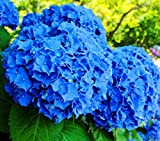 50pcs Geranium Flower Seeds Pelargonium Hortorum Hydrangea Flowers Seeds Home Garden Evergreen Plant Bonsai 4Geranium blue