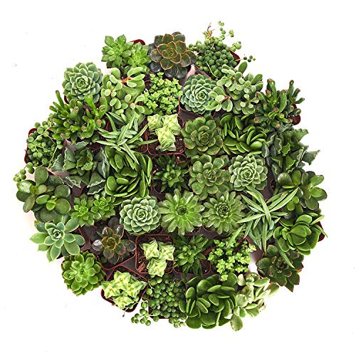 Shop Succulents Green Succulent (Collection of 32) by Shop Succulents (Image #2)