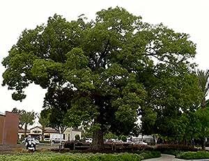 Camphor Tree 10 Seeds - Camphor Laurel - Tropical