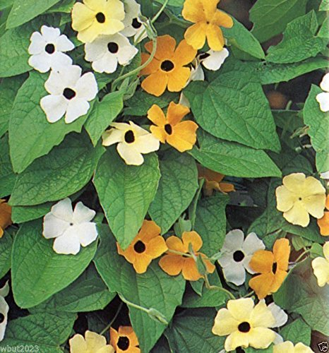 Yellow Flowering Vine - Thunbergia Seed (Black Eyed Susan Vine) Mix of orange,yellow and white flowers !(100 Seeds)