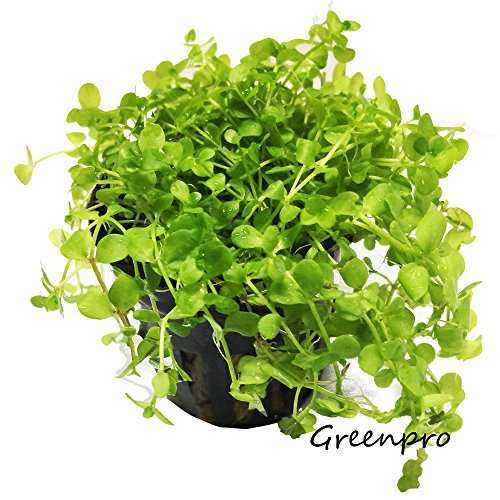 Greenpro Micranthemum Monte Carlo Potted Live Aquarium Plants for Freshwater Carpet Foreground Fish Tank (Best Discus Fish In The World)