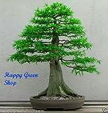 LAWSON CYPRESS - Chamaecyparis lawsoniana 100 seeds Bonsai garden tree wall