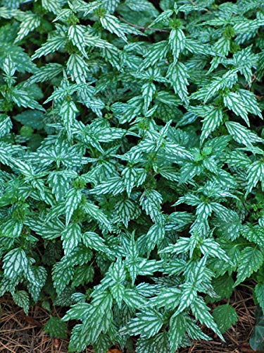 Perennial Farm Marketplace Lamiastrum g. 'Herman's Pride' ((Yellow Archangel) Groundcover, 1 Quart, Variegated Green Leaves and Lemon Color Flowers