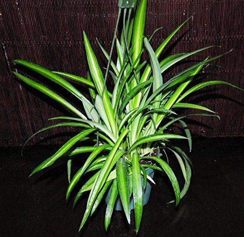 Beautiful Hawaiian Variegated Spider Plant Nice Full 5.5