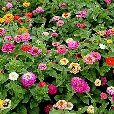 David's Garden Seeds Flower Zinnia Mixed Colors Pumila Cut & Come Again SL6565 (Multi) 200 Non-GMO, Open Pollinated Seeds : Garden & Outdoor