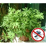 Mosquito Repelling Grass 200PCS Mozzie Buster Sweetgrass. Garden & Home Bonsai Plant. Easy planting