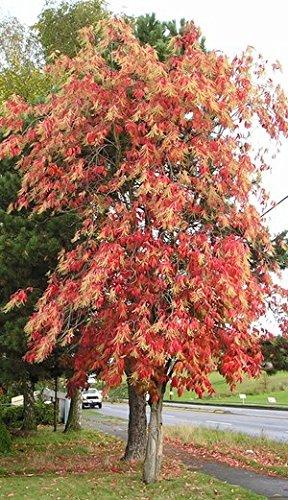 Sourwood Trees (50 Sourwood Tree Seeds, Oxydendrum Arboreum)