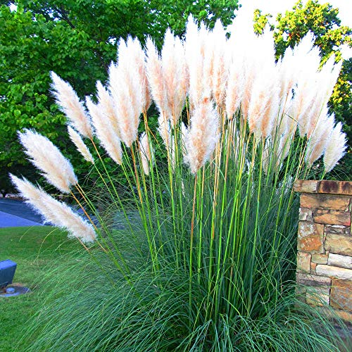 100 White Pampas Grass Seeds Ornamental Flowering Grasses Perennial Blooms Grass Seeds Planting