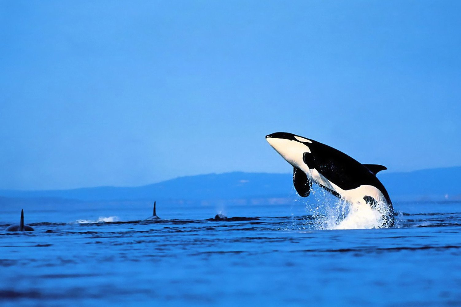 CHOIS Custom Films CF3311 Animal Dolphins Sea Glass Window Decor DIY Stickers 3' W by 2' H
