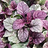 "Ajuga, Burgundy Glow, Value 3 Pack - 3 1/2""; 12.3 fl oz Potted Plant"