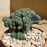 Ming Thing Cactus Cereus Forebesii Monstrose