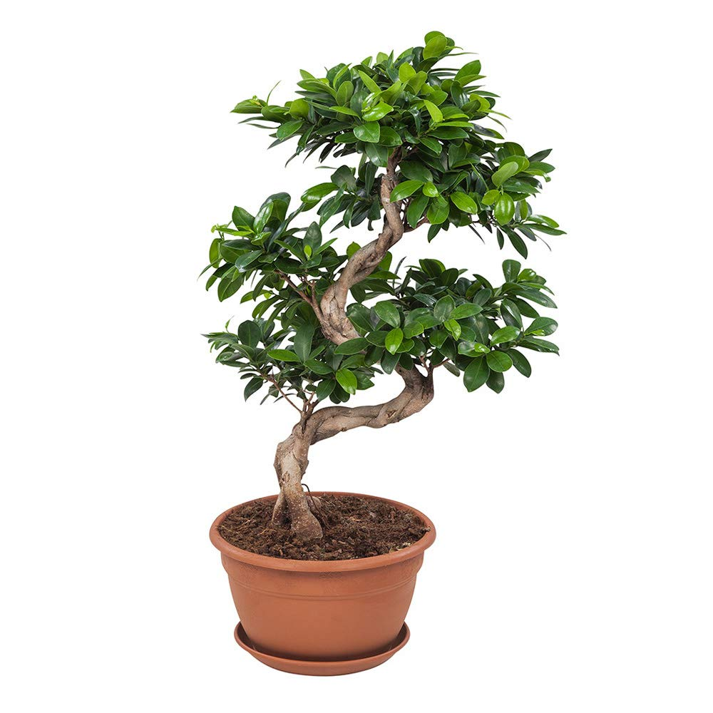 Choice Of Green Ficus Microcarpa Ginseng Bonsai Live Indoor Plant Pot Diameter 27 Cm Height 70 Cm Quality From Holland Fresh From The Grower Buy Online In China At Desertcart Productid 103733197