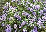 30 Seeds of Timo Arbustivo /Thymus capitatus Lamiaceae