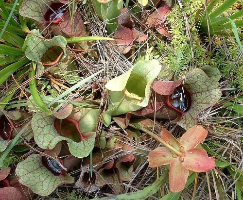 10 CARNIVOROUS PURPLE PITCHER PLANT (Turkish Red / Northern) Sarracenia Purpurea Flower Seeds ()