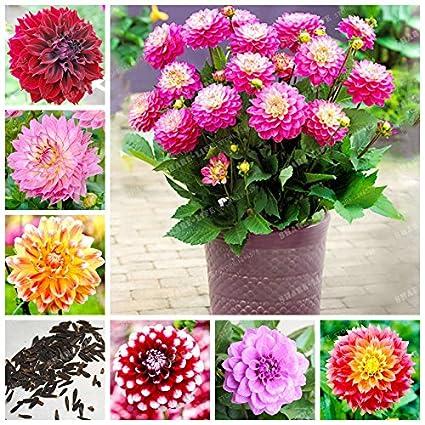 Pflanzen Samereien Zwiebeln White Dahlia Seeds Flower Seeds Bonsai Herbs Rare White Dahlia Seed Big Flower Garten Terrasse Stars Group Com