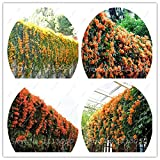 Seeds Shopp Rare Chinese Orange Pyrostegia venusta Perennial Climbing Plant Flower Seeds for Home Garden Decoration 30 Pcs