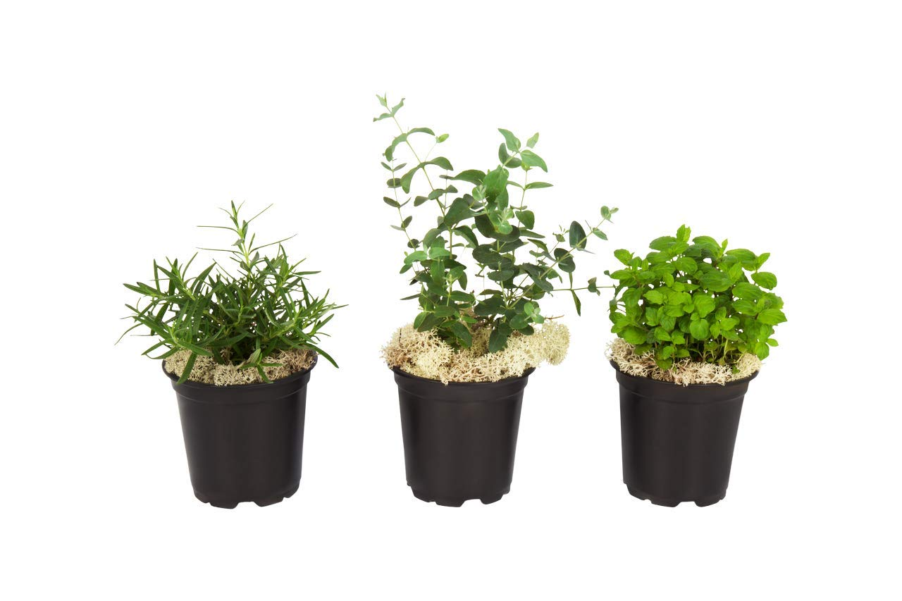 The Three Company Air Purifying Live Aromatic Herb Combo (Eucalyptus, Rosemary, Mint), 4.5'' Pot, Natural Air Purifier