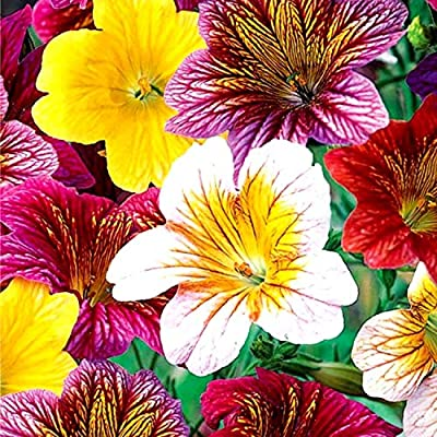 Salpiglossis Sinuata Seeds Mix Painted Tongue Plant Scalloped Tube Tongue Velvet Trumpet Flower Around 200 Seeds : Garden & Outdoor