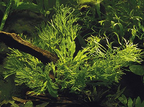 Pictures of Lace Java Fern Potted (Microsorum Windelov) Freshwater 2