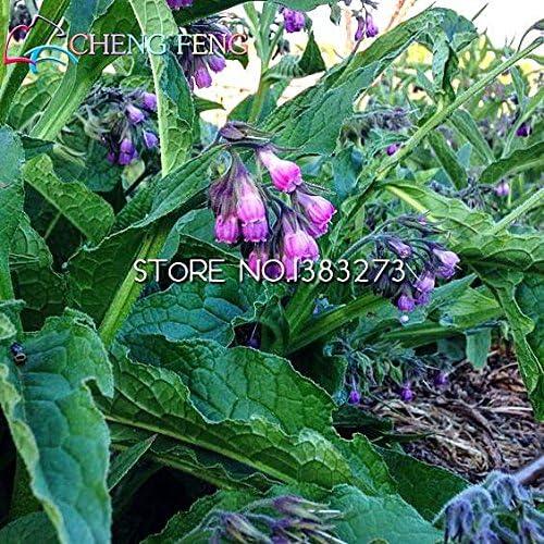 100 Semillas Semillas consuelda nuevos de la flor Hogar y jardín Bonsai Semillas de plantas * Jardín Raras de semillas Perenne Flores Bulbos: Amazon.es: Jardín