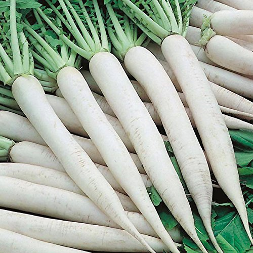 Radish All Season Hybrid Vegetables Seed (Pack of 50 Seed 1 per pkts) 1 of Radish ()