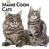 Maine Coon Cats 2019 12 x 12 Inch Monthly Square Wall Calendar, Animals Cats Maine Coon (Multilingual Edition) (16 month calendar)