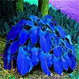 Hosta Seeds,mage2pnper 200Pcs Hosta Plantaginea Seeds Fragrant Plantain Bonsai Plant Home Garden Decor - Hosta Plantaginea Seeds