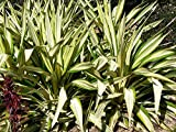"1 Rooted of Furcraea Watsonia Variegated ""False Agave"""