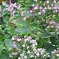 Everwilde Farms - Greek Oregano Herb Seeds - Gold Vault