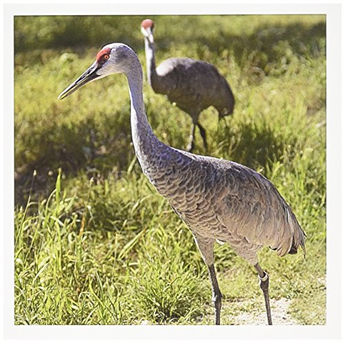 3dRose Sandhill Crane Birds Nebraska US26 GHA0062 Gayle Harper Greeting Cards, Set of 6 (gc_91538_1)