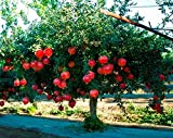 2 Live Plants Pomegranate Fruit Tree Wonderful Punica Granatum Shipped Bare Root