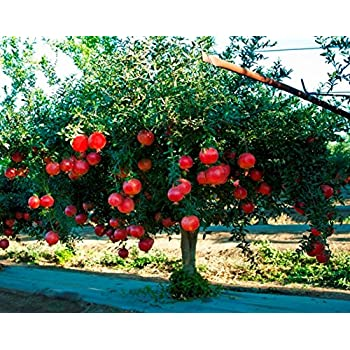 Amazoncom 9greenbox Pomegranate Tree 1 Gallon Dwarf