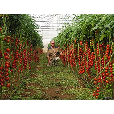 Tomato Seeds Tsifomandra (tree tomato) Vegetable Seeds. 25 SEEDS : Garden & Outdoor